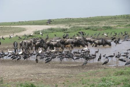 great-wildebeest-migration-in-ndutu