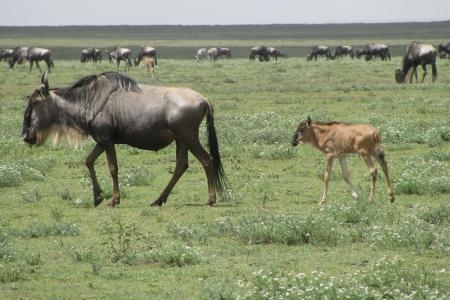 wildebeest-calf-in-ndutu