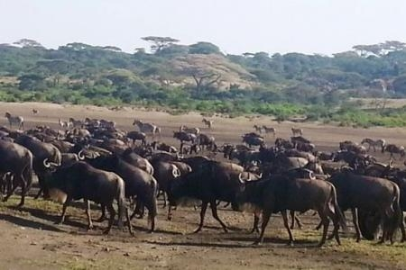 wildebeest-herd-coming from-lake-masek