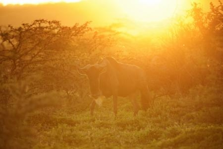 wildebeest-at-sunset