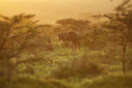 wildebeest-on-the-move