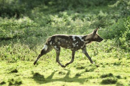 wild-dogs-active-around-the-kakessio-area