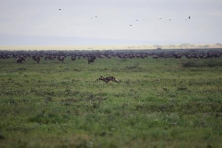 wild-dog-and-the-wildebeest-herds