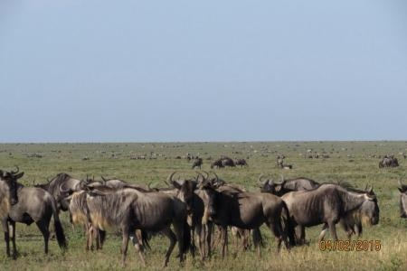wildebeest-in-ndutu
