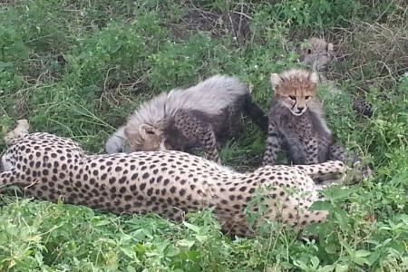 cheetah-cubs-and-mother-in-ndutu