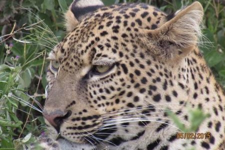 leopard-spotted-in-ndutu