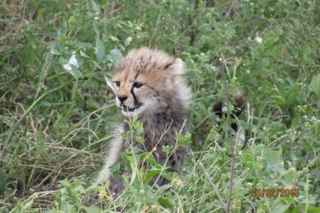 cheetah-cub-playing-in-ndutu
