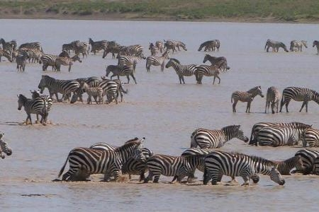 zebra-in-ndutu