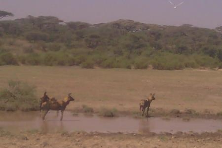 wild-dogs-on-the-ndutu-plains