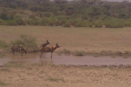 wild-dogs-in-the-serengeti