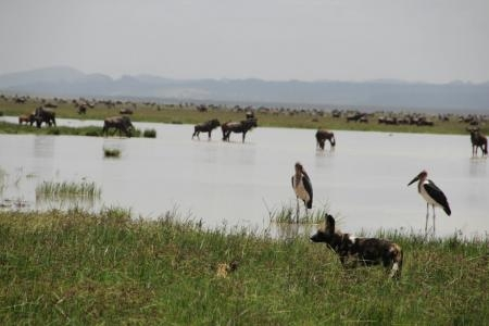 wild-dog-and-the-wildebeest-migration