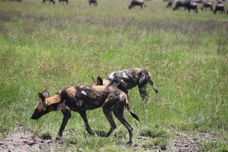 wild-dog-on-the-prowl-in-ndutu
