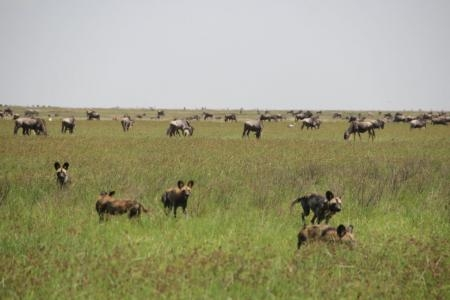 pack-of-wild-dogs-in-ndutu