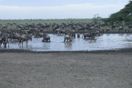 wildebeest-herds-in-the-water