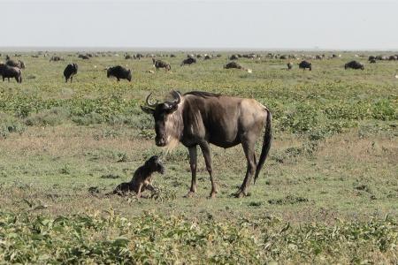 newborn-calf-in-makao