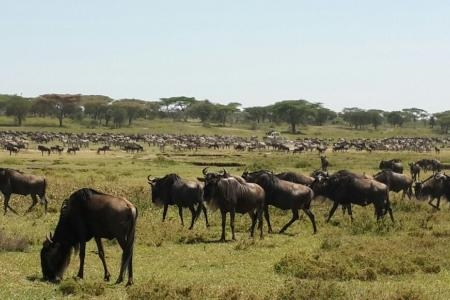wildebeest-herds-at-the-ndutu-marsh