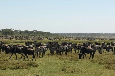 zebra-and-wildebeest-in-ndutu