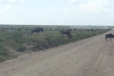 wildebeest-herds-at-naabi-hill