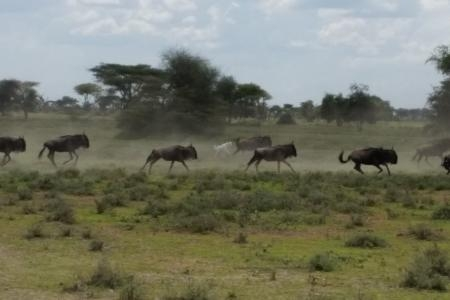 albino-wildebeest-running-with-the-herd