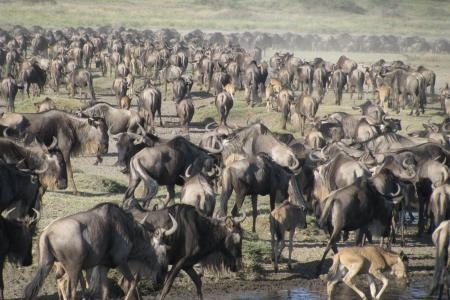 wildebeest-in-the-small-marsh