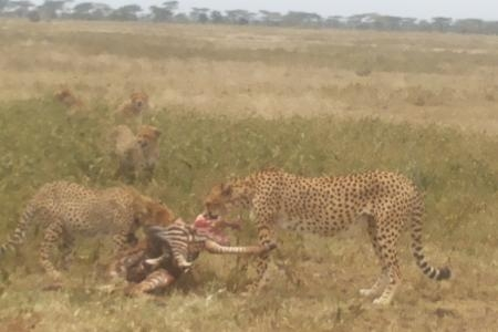 cheetahs-with-zebra-kill