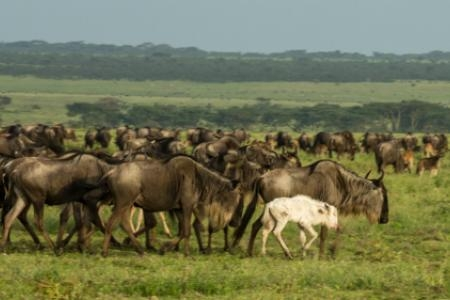 the-albino-wildebeest-has-been-shunned-by-the-herd
