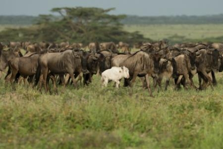 albino-wildebeest-in-the-serengeti