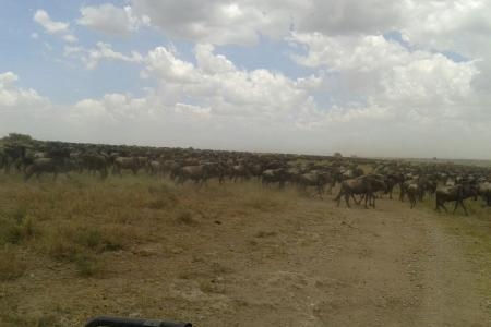 wildebeest-herds-are-close-to-the-moru-kopjes