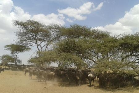 the-herds-are-moving-from-naabi-to-moru