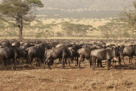 the-herds-are-stretching-from-lake-magadi-to-central-seronera