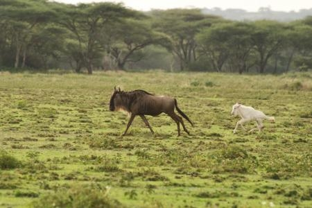 white-wildebeest-calf-close-to-serians-serengeti-south-camp