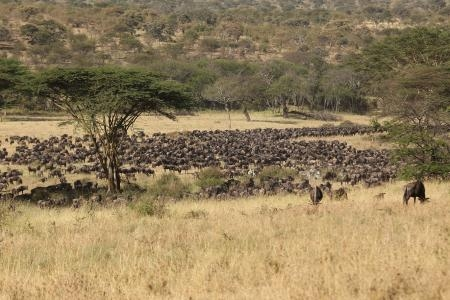 wildebeest-going-to-lake-magadi