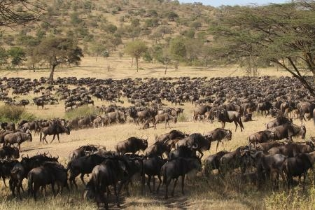 wildebeest-in-the-southern-serengeti