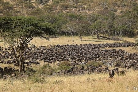herds-are-close-to-the-serengeti-pioneer-camp