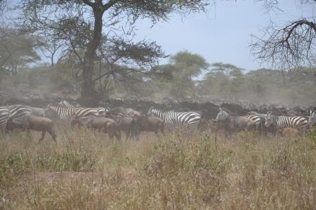wildebeest-and-zebra