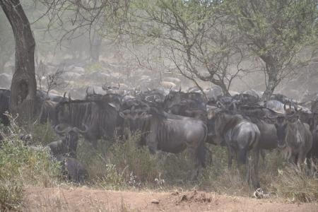 wildebeest-looking-for-shade