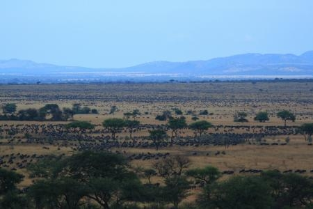 hundreds-of-thousands-of-wildebeest