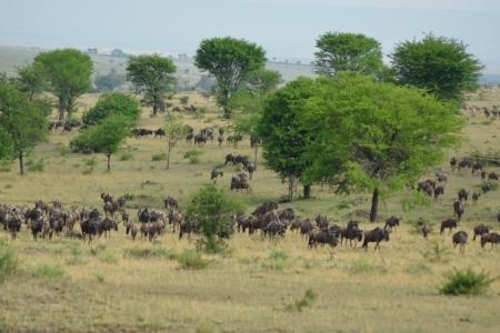wildebeest-migration-in the-mbuzi-mawe-region