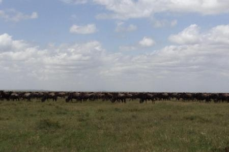 wildebeest-on-the-naabi-plains