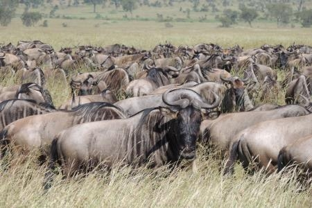 wildebeest-migration-south-of-the-moru-kopjes