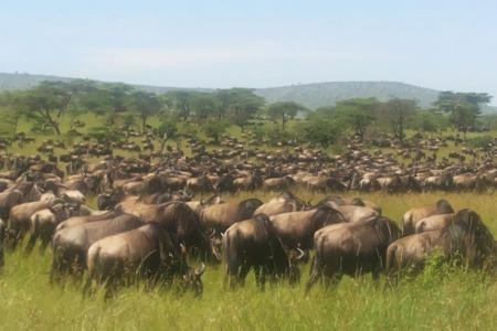 the-eastern-wildebeest-herds