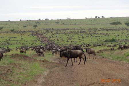 wildebeest-in-bologonja