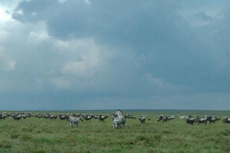zebra-and-gnus-close-to-sametu