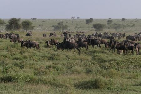 moru-herds-back-at-ndutu