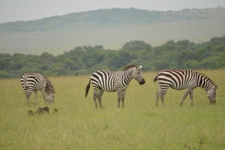 zebra-in-the-masai-mara