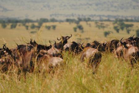 herds-in-the-mara