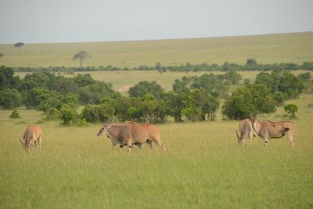 eland-in-the-masai-mara