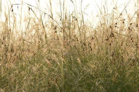 red-oat-grass