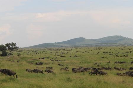 wildebeest-migration-close-to-salas-camp