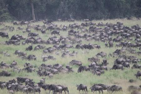 thousands-of-wildebeest